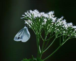 ノラニンジンに留まる蝶